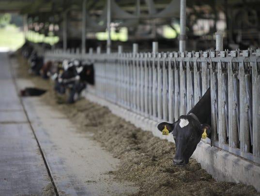 Cows-eating-in-barn.jpg
