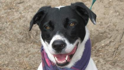 Piper is an intelligent and friendly border collie mix who walks well on a leash.