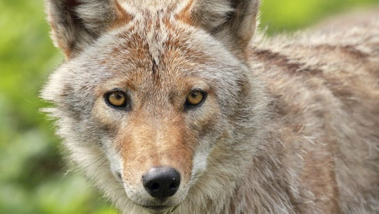 DEC is warning people to be aware of coyotes this spring.