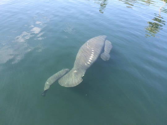 Rare manatee twins have been spotted with their mother