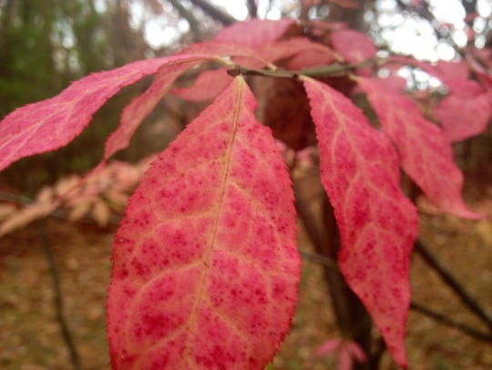 Beautiful as it may be, burning bush has become a problem