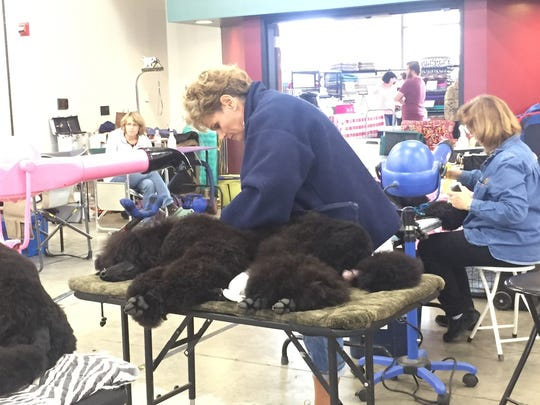 Cooper, a young standard poodle, gets groomed by his owner/breeder, Jerri Chesky of Shreveport.