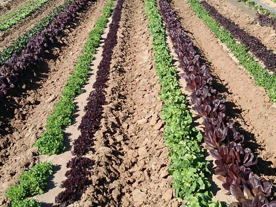 Lettuce growing at Duncan's Trading Company.