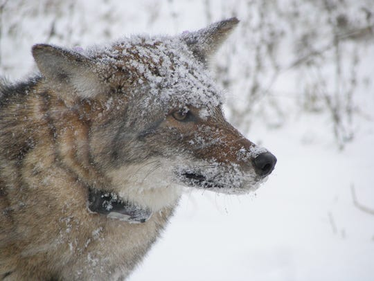 Coyotes inhabit every part of New York state, even