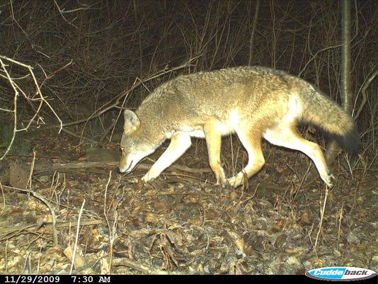 635980564164111198-coyote.2.jpg