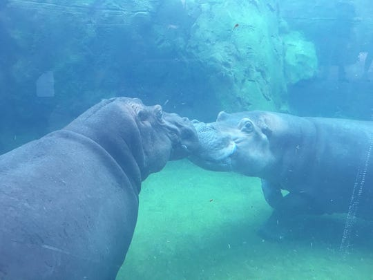 Former Dickerson Park Zoo resident Henry the hippo is shown nuzzling his new female partner, Bibi, at the Cincinnati Zoo & Botanical Garden.