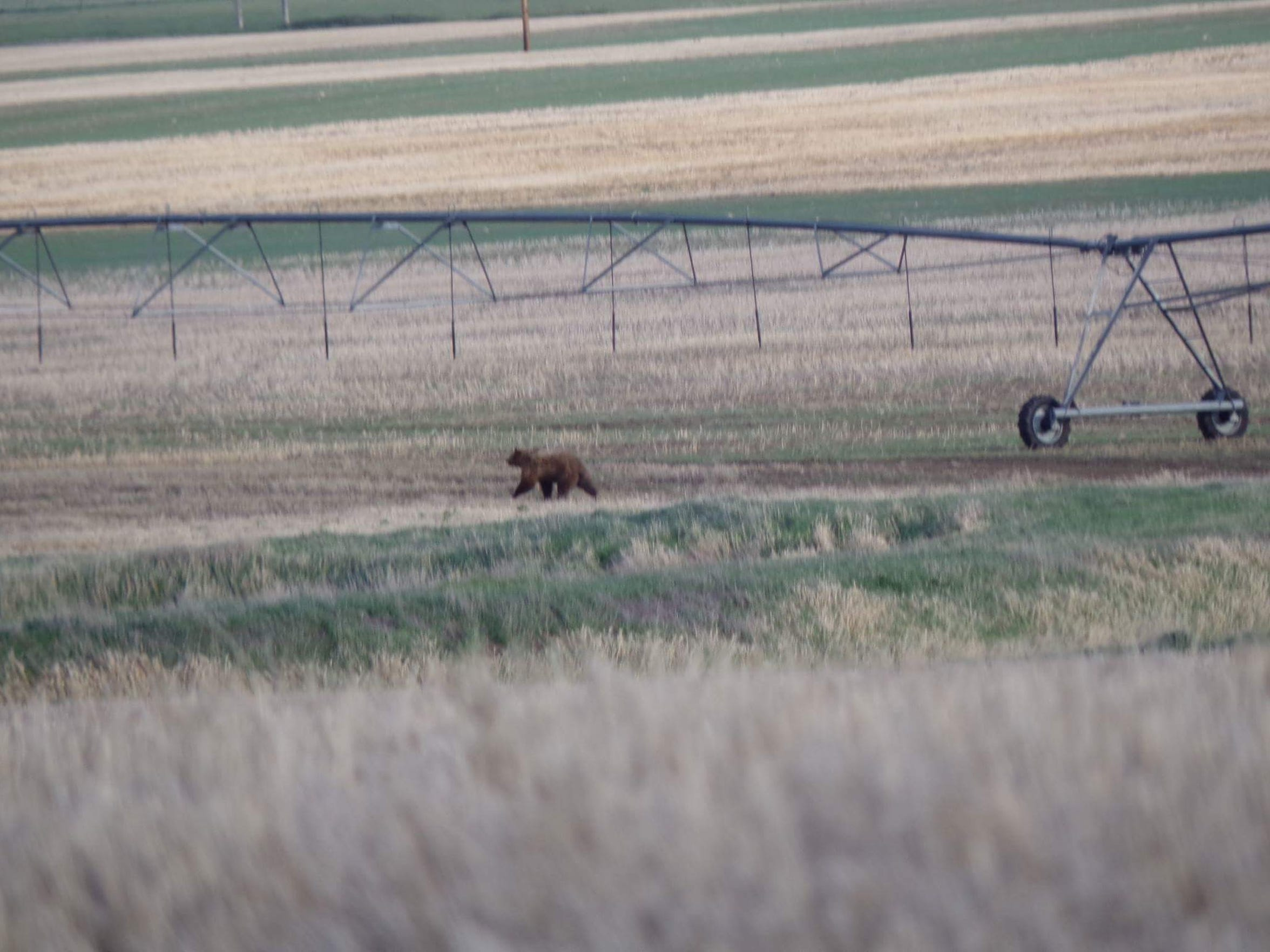 This grizzly was spotted on the outskirts of Conrad