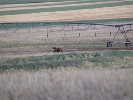 This grizzly was spotted on the outskirts of Conrad in May 2016.
