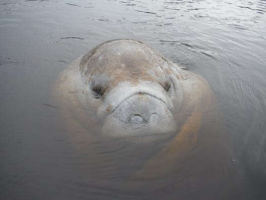 A manatee at rest near the surface. The state counted