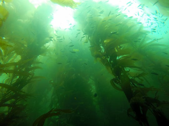 The kelp forest at Naples Reef.