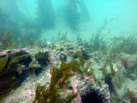 Sea urchins and algae at IV Reef.