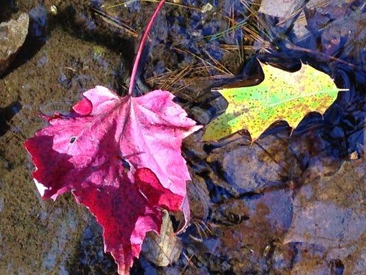 OakMaple leaves.JPG