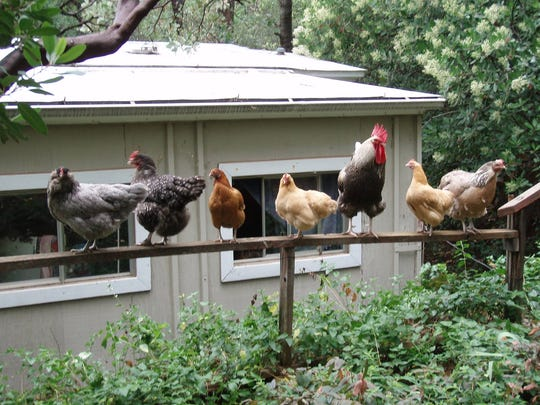 Lianne Bowman raises about 20 chickens on her property in Shasta Lake.