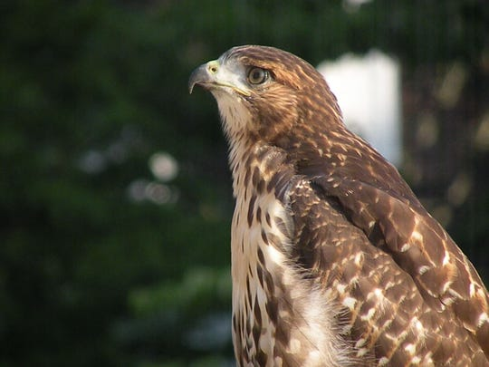 Hawks have grown comfortable in urban areas. This one