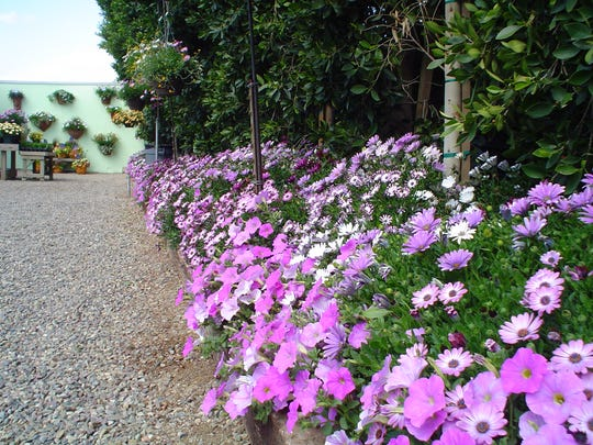 A cool colored driveway border of Osteospermum hybrids protected by a tall hedge.