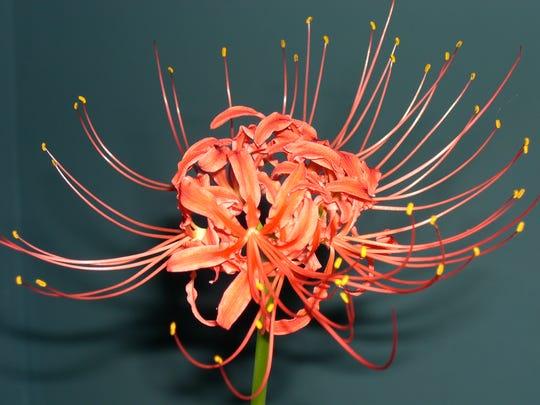 Hurricane lilies produce a single leafless flower stalk