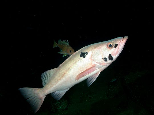 A photo of a bocaccio rockfish taken from a submarine.