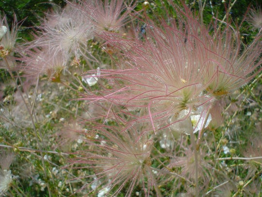 Discover apache plume, a desert native with soft textured