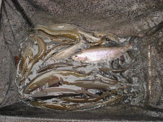 Rainbow trout collected during spring surveys on Holter