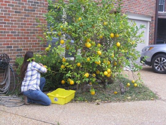 Gleaning Meyer lemons.