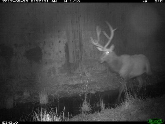A bull elk uses an underpass to get across Montana