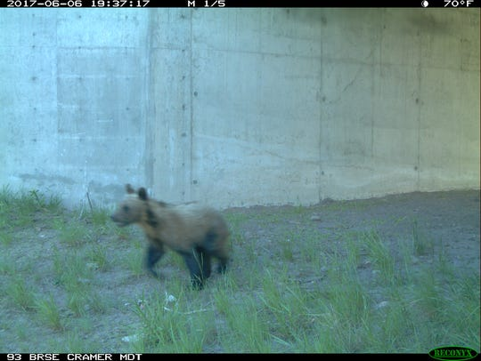 A subadult grizzly emerges from an underpass beneath