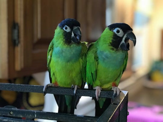 Pebbles and Bam-Bam, nanday parakeets, are two of the birds at Birds and Beaks Rescue and Rehab. Bam-Bam survived; Pebbles did not.