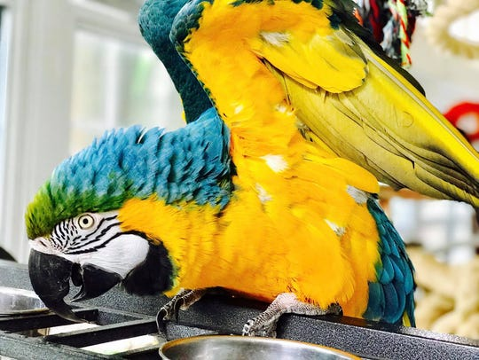 In this photo, a blue-and-gold macaw is shown. It's not the same bird that's part of the subject of Max Cohn's lawsuit in the York County Court of Common Pleas.