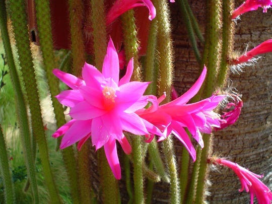 Intense magenta pink blooms reoccur for many weeks