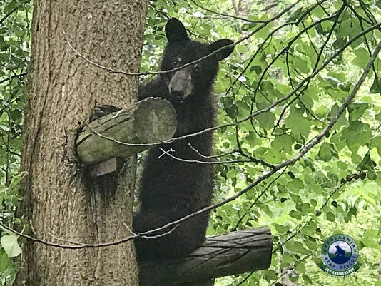 Magnolia, Louisiana black bear