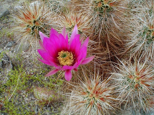 The native Echinocereus roots at the same depth as