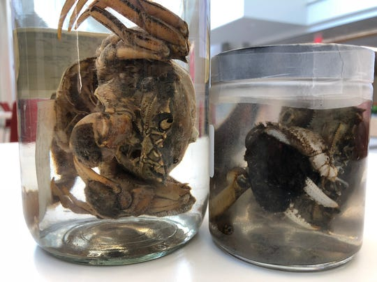 Two mitten crabs are preserved at Smithsonian Environmental