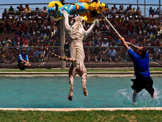 Tiger Splash is the signature show for Out of Africa