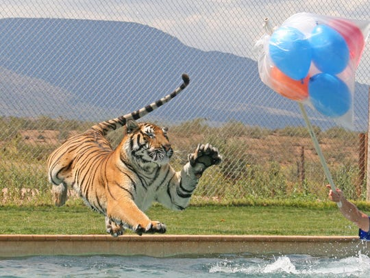 See the Tiger Splash show for free at Out of Africa