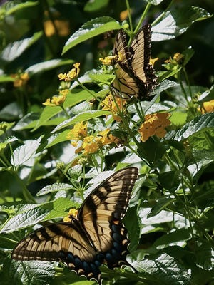 Eastern Tiger Swallowtails feast on Luscious Golden Gate lantanas in early September.