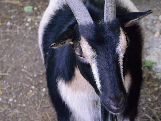 Stock image Goat