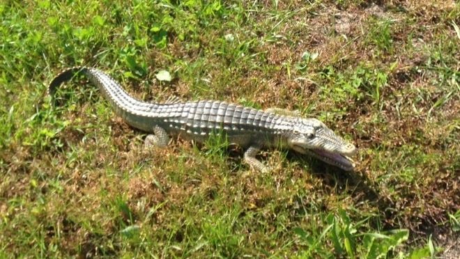 A photo of a two-foot toy alligator found by a Stearns deputy.