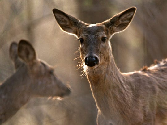 White-tail Deer roam the woods at Kensington Metro Park in Milford on April 16, 2002.