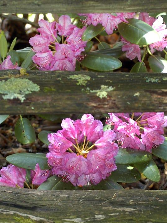 -Rhododendron 01.jpg_20140319.jpg