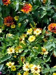 Zahara zinnia provides low mounds of yellow flowers