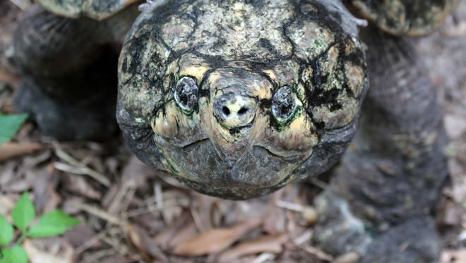 An alligator snapping turtle is pictured.