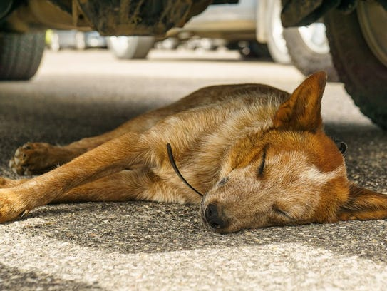 Lincoln, a red heeler from Utah, went missing near
