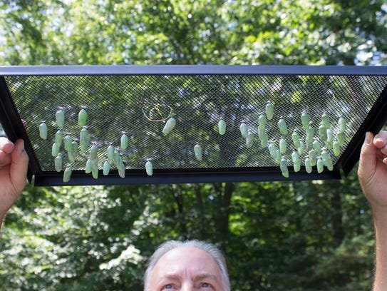 Tom Daurizio of River Vale, who raises monarch butterflies