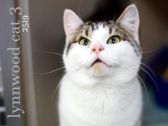 Lynnwood is an adult female domestic shorthair with