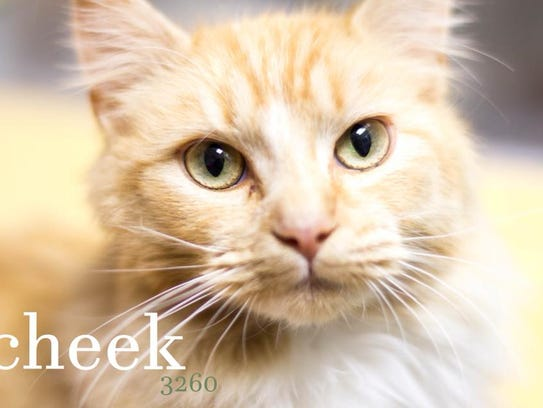 Cheek is an adult, female domestic shorthair with a