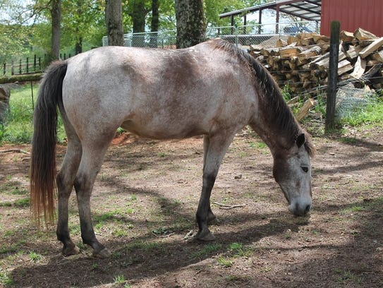 Ellie is one of the horses to be offered for sale at