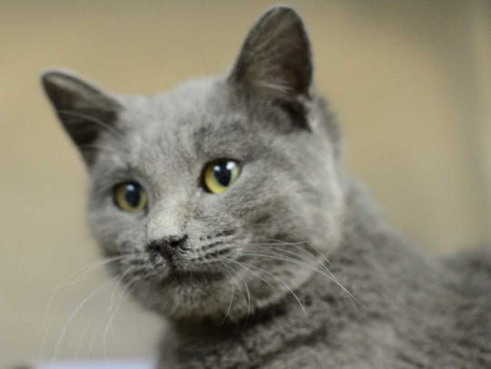 Adaline - Female domestic short hair, adult. Intake