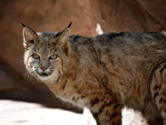 Arizona Game andFish are on the hunt for a bobcat that bit five family members, including a 4-year-old girl, Sunday evening at a campground in Safford, which is a few hours southeast of Phoenix.