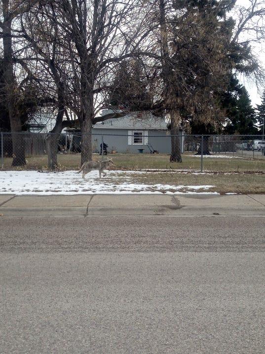 636585381081656112-coyote-in-town.jpg
