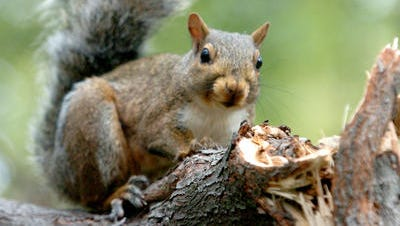 Around 4,500 Duke Energy customers in Forest Park were without power Monday morning after a squirrel entered a substation and got zapped, causing an outage.